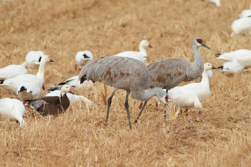 Sandhill Crane and Snow Goose flock Bosque del Apache NWR Socorro NM IMG_9860.CR2.jpg