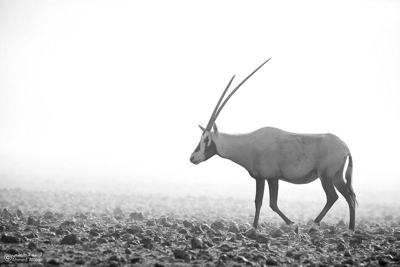 Arabian Oryx (13)- B&W.jpg