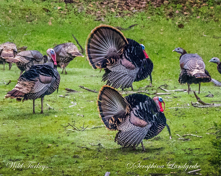 _DSC5956Three Wild Turkeys.jpg