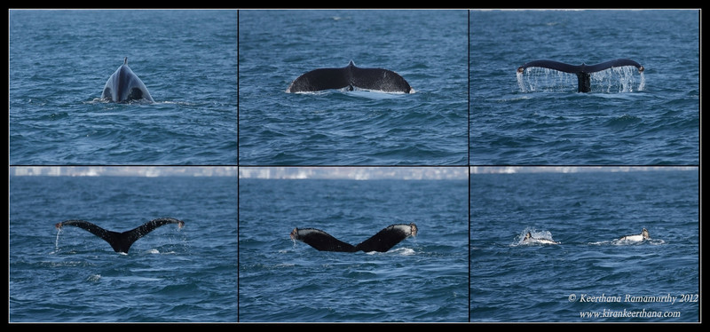 Humpback Whale tail fluke series, Whale watching trip, San Diego County, California, April 2012