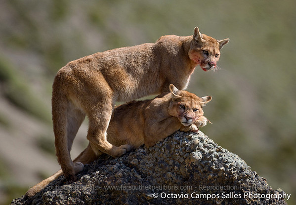 Patagonia Pumas: A Photographic Tour