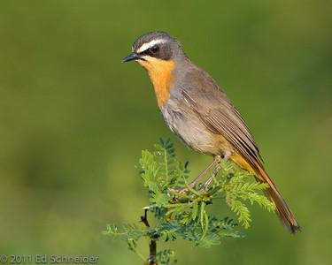 South Africa 2011 Birds
