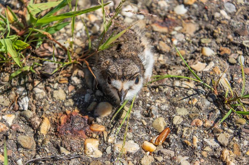 Hatchling-killdeer-parkinglot-picklyroad.jpg