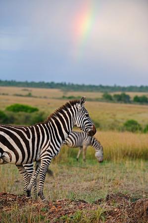 """""""Zebra in Masai Mara"""""""