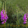 The incredibly endangered Correll's False Dragonhead
