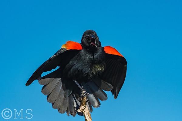Red Winged Blackbird Image Gallery