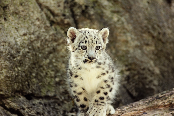Rosamond Gifford Zoo Snow Leopard Cubs