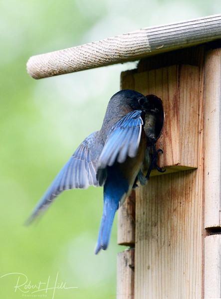 2015 Blue Birds