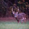 Large whitetail deer