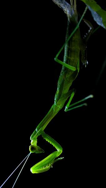 Backlit moulting mantis