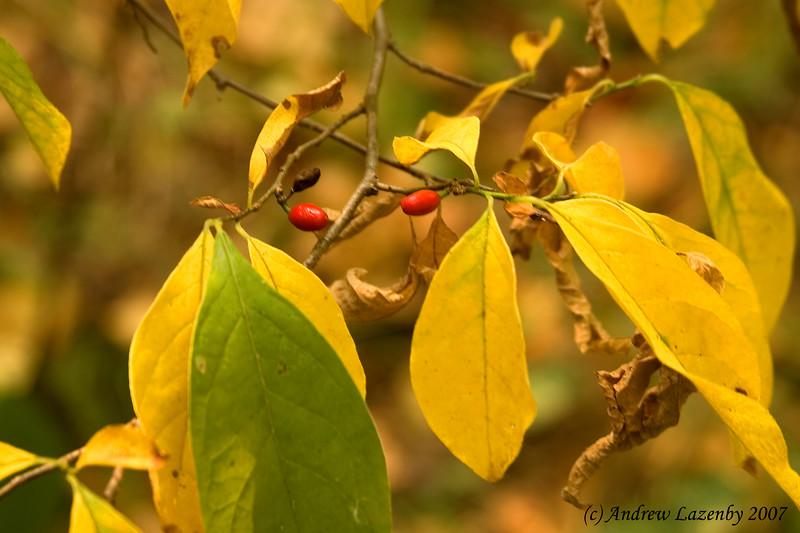 Spice Bush Fruit.jpg