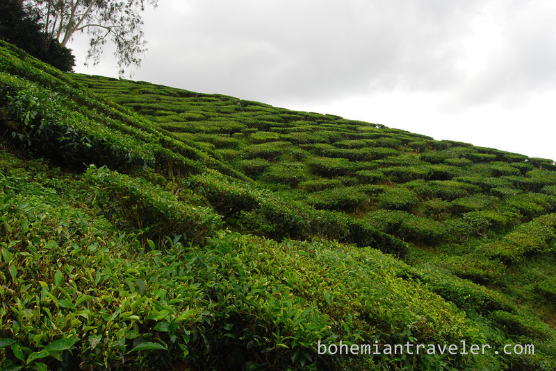 Cameron Valley Tea fields [Bharat].jpg