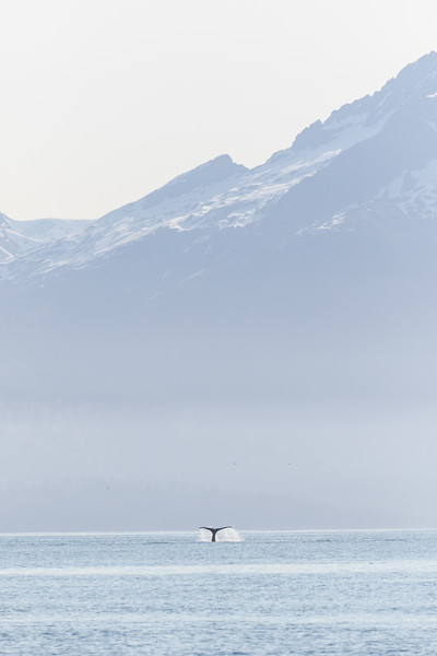 A humpback whale breaches its tail out of the coastal waters in Alaska's Glacier Bay National Park