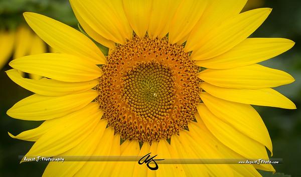 Beaver Dam Sunflower Festival /|\ Buchanan, VA