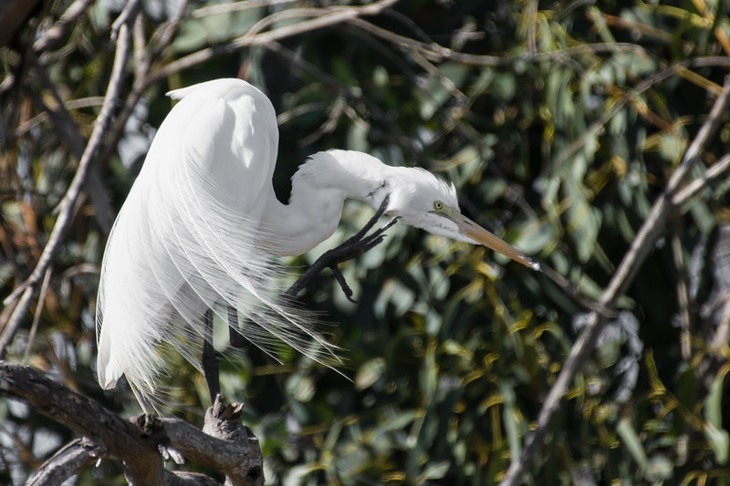 Great White Egret.jpg