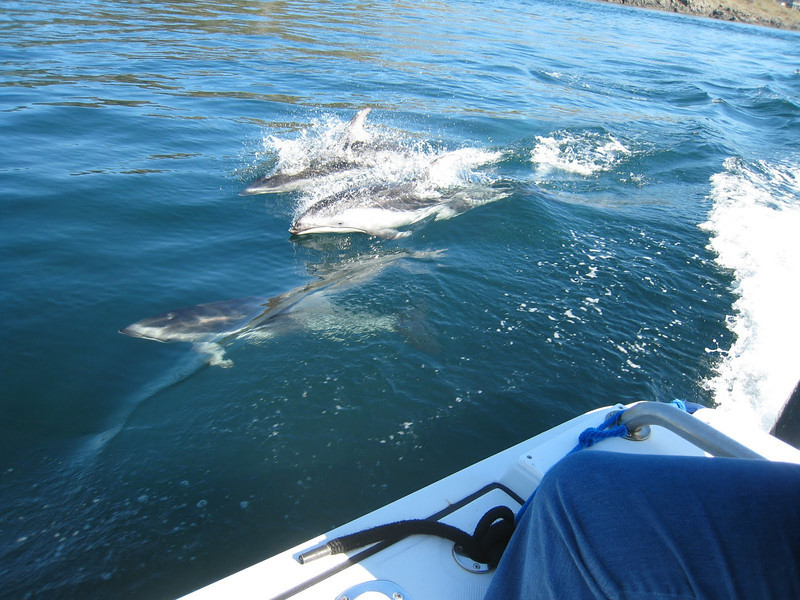 Pacific White-sided dolphin swimming alongside the boat.  There was a very large group swimming quite close to shore.  The Captain was very excited - he said this was a very unusual sighting - he had only seen them like this a couple of times in his many years on these waters).