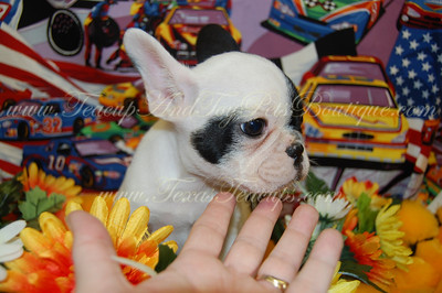 2010 French Bulldogs sold
