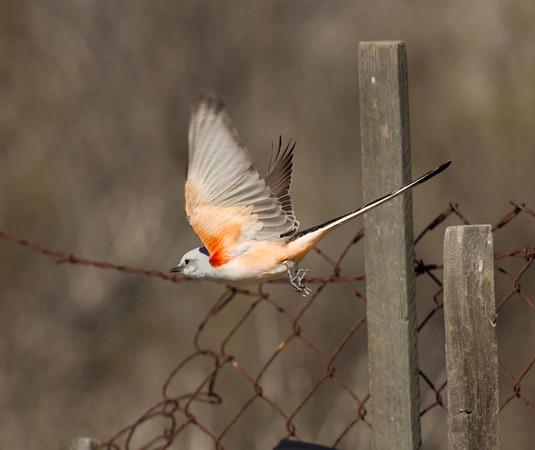 Scissor-tailed Flycatcher Tyrannus forficatus
