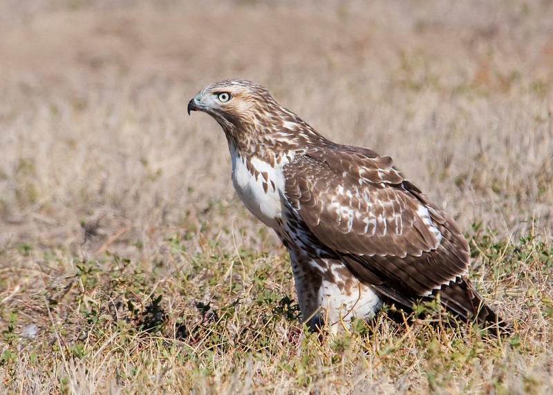 Hawk - Ferruginous - juvenile - light - Badlands Nat'l Park, SD - 02