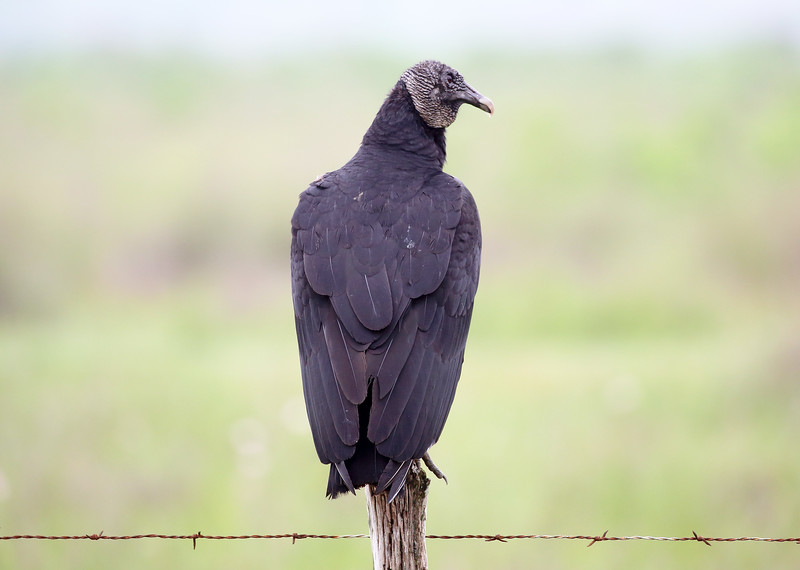A Black Vulture guards the way into the Brazoria Wildlife Refuge ...