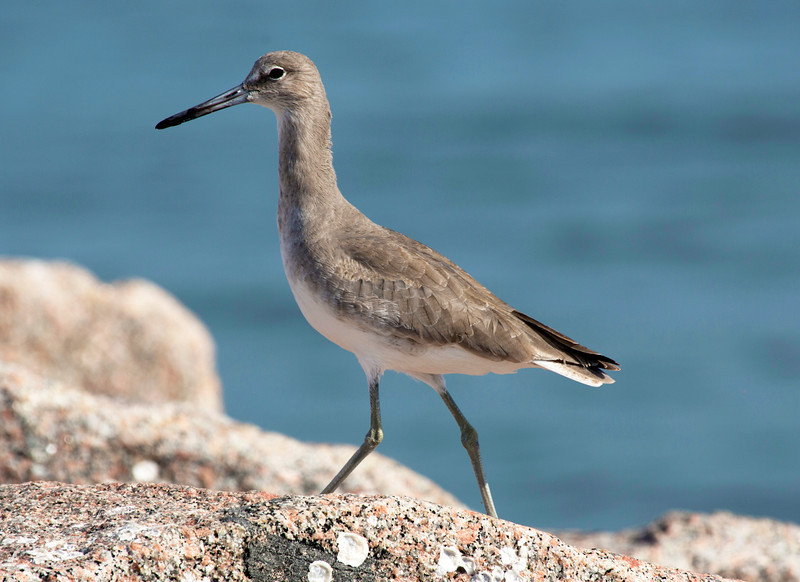A Willet on the rocks at the end of the Dike.