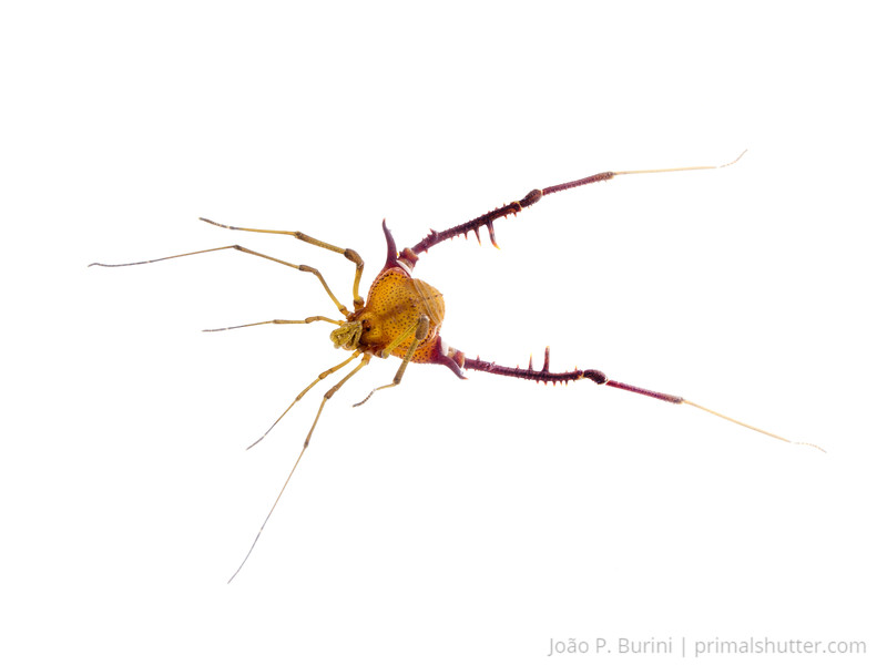 Male gonyleptid harvestman (Acanthogonyleptes alticola) Atlantic forest (rock outcrop vegetation) Itatiaia National Park, Itamonte MG, Brazil March 2018