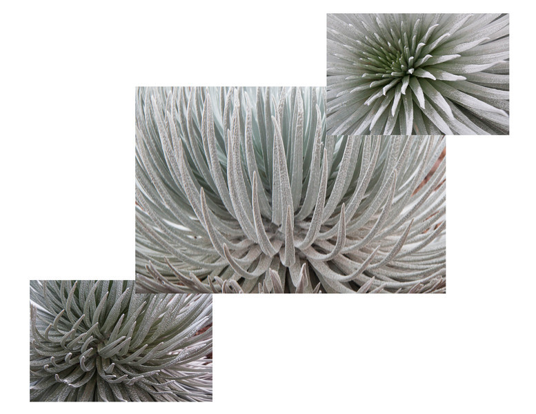 """The Haleakalā Silversword (Argyroxiphium sandwicense subsp. macrocephalum) is a rare plant, part of the daisy family Asteraceae. The Silversword in general is referred to as ʻāhinahina in Hawaiian (literally, """"very gray"""").   It is an endangered species. The roots are shallow, growing in volcanic cynders, and very sensitive to being stepped on or around. The plant lives to about 50 years. When mature at about 1 1/2 to 2 feet across, it shoots out a 6 foot tall flower stock covered with maroon flowers. After going to seed the plant dies. Wild goats, introduced Axis deer and grazing cattle nearly wiped it out before the park service fenced them out."""