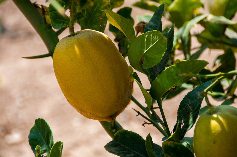 Close up of lemon tree in Elche, Alicante, Spain