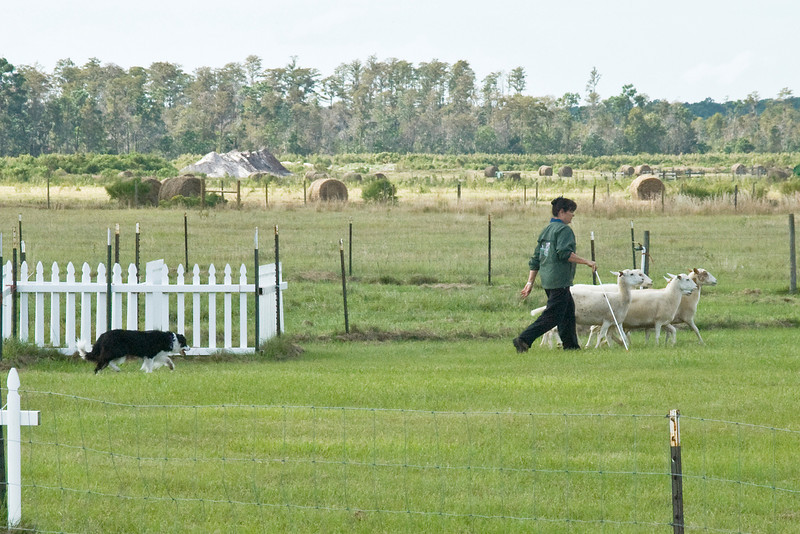#306 (Saturday) - Duo, a Border Collie, qualified for 2nd place, with a score of 65 and a time of 3:35 minutes, on the Course A, Started level.  Duo is owned and handled by Carol Tague.