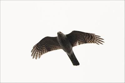 Spurvhauk  / Sparrowhawk