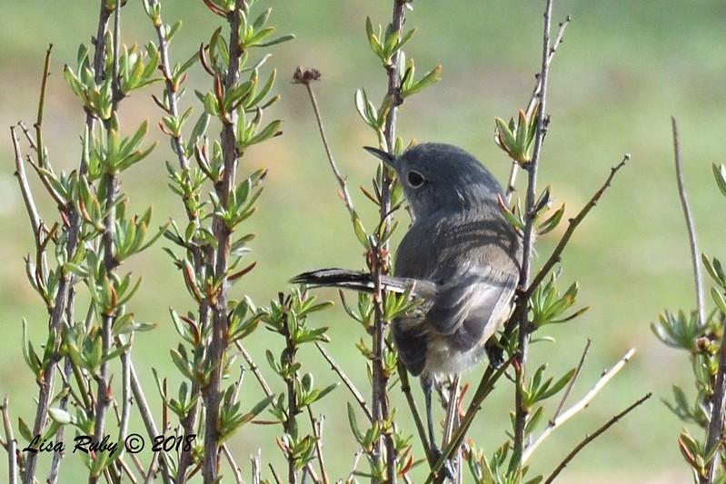 California Gnatcatcher  - 1/19/2018 - Lake Murray, Cowles Point