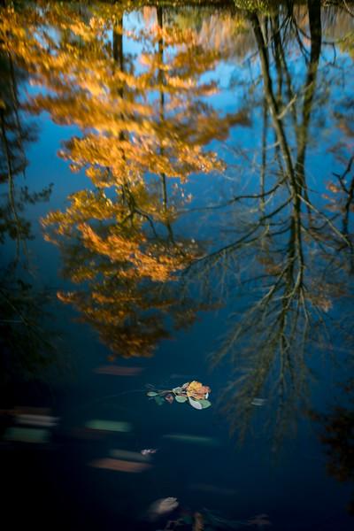 yellow maple leaves reflection -2309.jpg