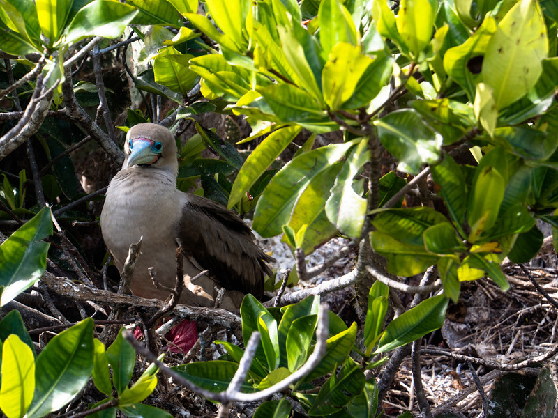 red footed booby baby 2.jpg