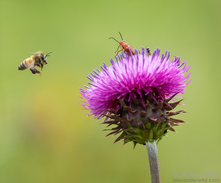 Thistle Pollinators