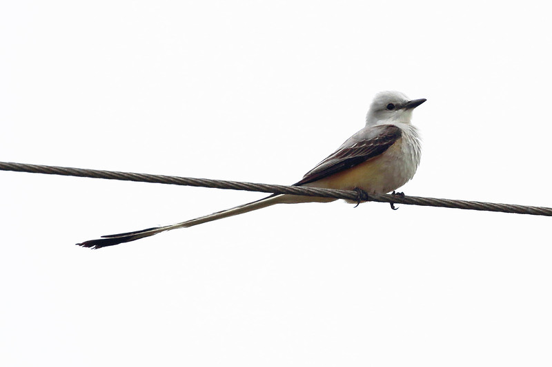 Another Scissor-tailed Flycatcher is a friendlier greeter to the Refuge.