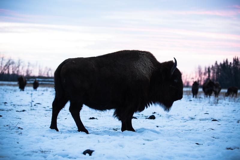 AHP171212_buffalo1361.jpg