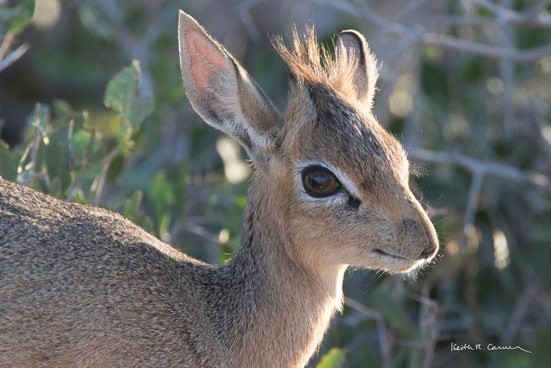 Female dik-dik