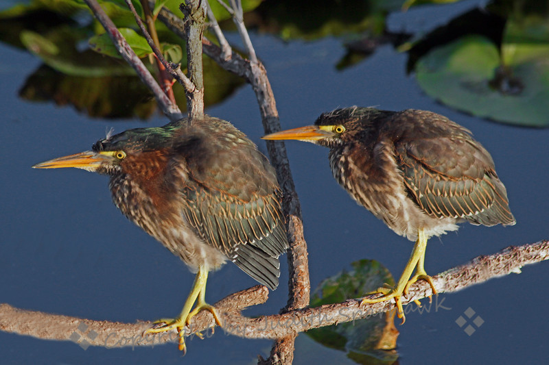 "Baby Green Herons ~ These were two of four young herons hanging out along the Anhinga Trail at Royal Palms in the Everglades. You can still see a few white wisps of baby fuzz showing through their ""grown-up"" plumage."