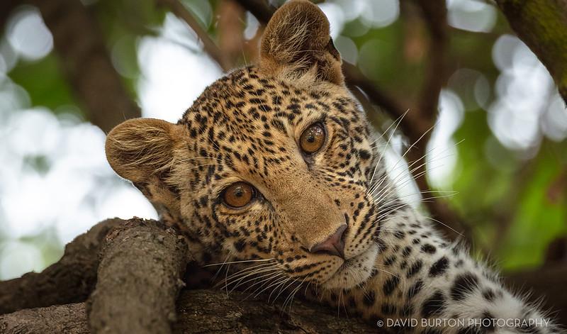 Mfuwe_leopard_8371cc2fx-web.jpg