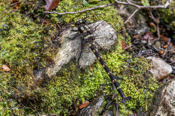 Uropetala carovei - Bush giant dragonfly