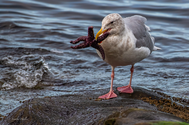 gull with starfish.jpg