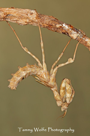 Mantis, Thistle Mantis Molting