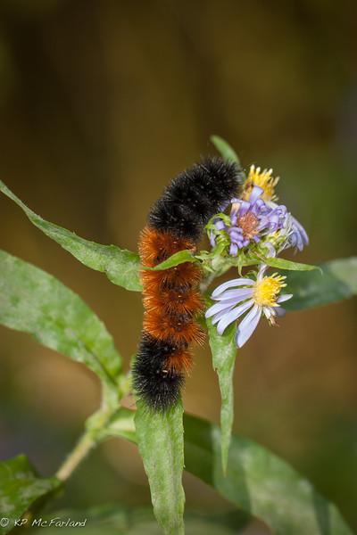 Isabella Tiger Moth (Pyrrharctia isabella)
