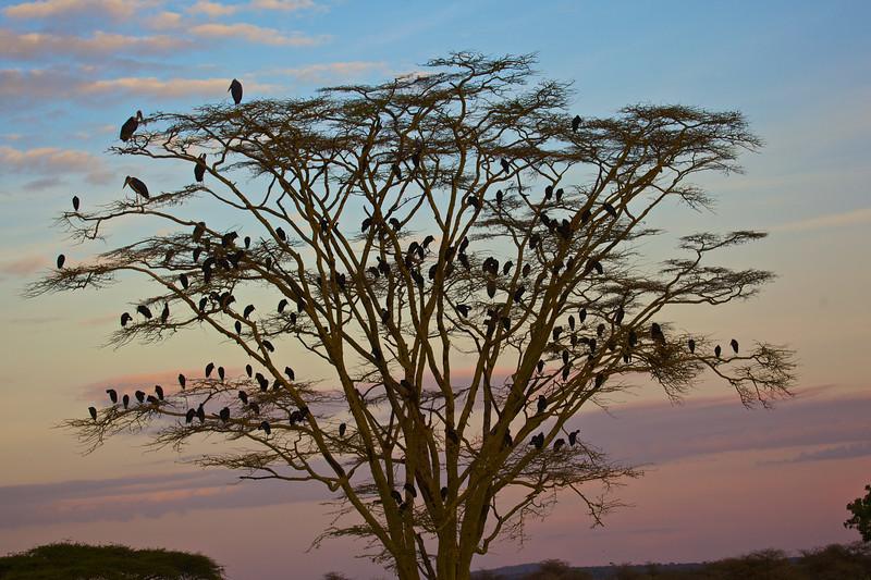 A tree full of Open-billed storks