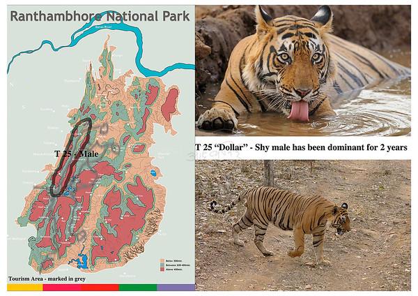 T 25 Ranthambore tiger
