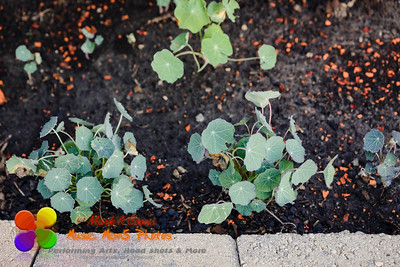these nasturtium's are growing but off to a slow start