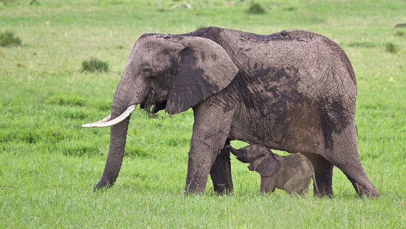 African Elephant Mother & Calf - 1