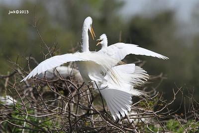 Hooded Cranes
