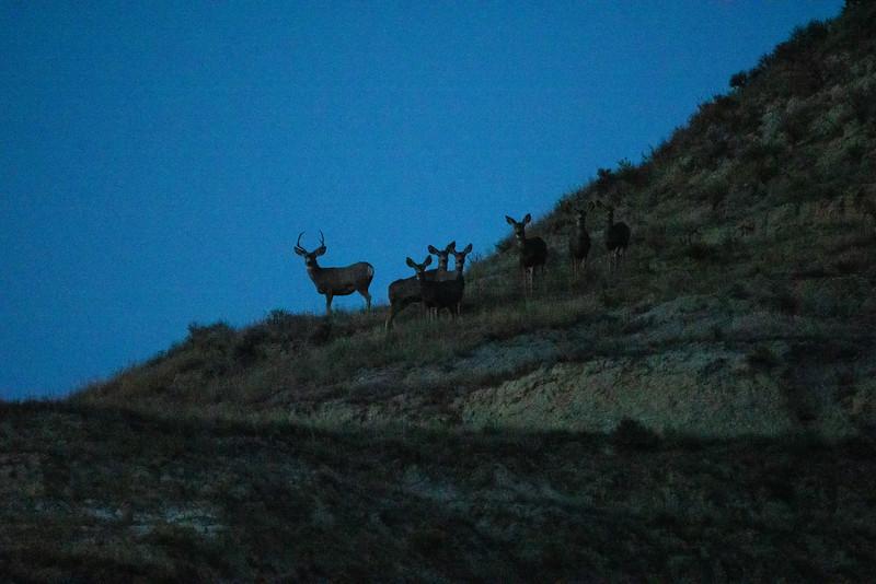 Mule Deer Theodore Teddy Roosevelt National Park Medora ND IMGC1190-2.jpg