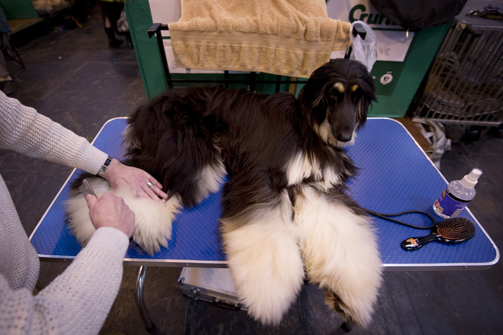 """. An Afghan Hound is groomed during the first day of the Crufts dog show in Birmingham, in central England on March 7, 2013. The annual event sees dog breeders from around the world compete in a number of competitions with one dog going on to win the \""""Best in Show\"""" category. BEN STANSALL/AFP/Getty Images"""